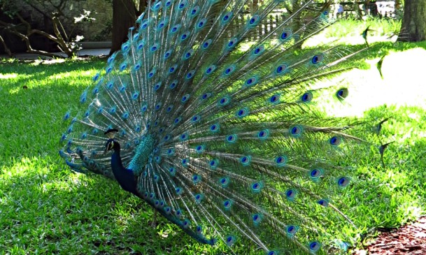 The Fountain of Youth resident peacock photo by Christa Thompson