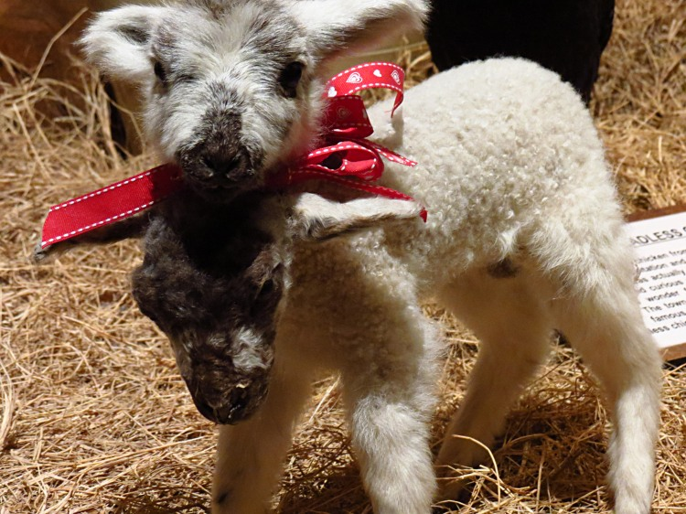 Double headed sheep Photo by Christa Thompson