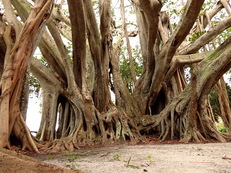 banyan tree in Sarasota, Florida photo by Christa Thompson 2013